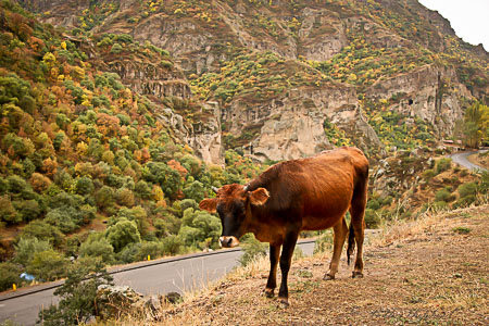 Armenian cow and fall color