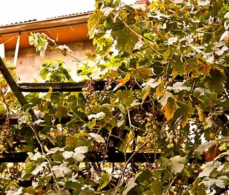 Homegrown Armenian grapes