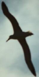 albatross-1-131-x-256.jpg