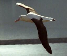 albatross-3.jpg