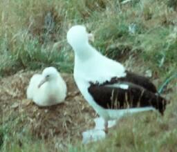 albatross-a.jpg