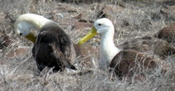 albatross-adults-1-250-x-131