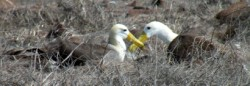 albatross-adults-2-250-x-86