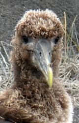 albatross-baby-a-161-x-250