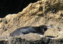 penguin-1-250-x-176