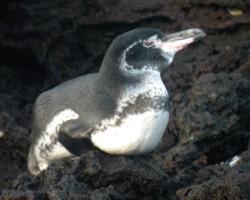 penguin-3-250-x-200