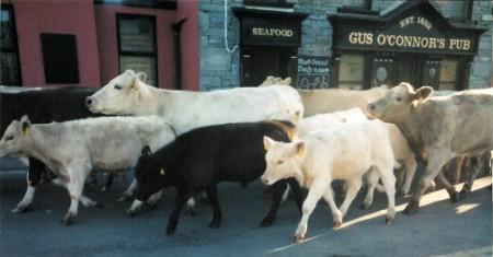 cows 1 (450 x 235)