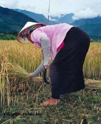 Woman Cutting Rice Vietnam