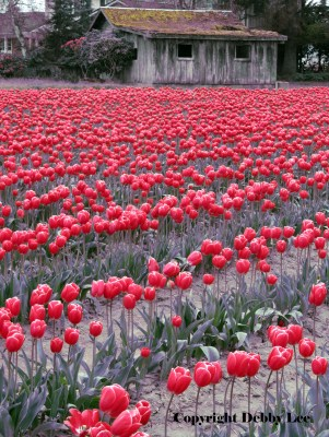 Skagit Valley Tulip Festival: Red is for Perfect Love