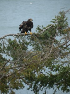 Washington Bald Eagle