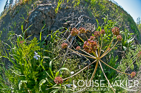 Wild Flower, Flora, Stites, Idaho, Nature, Landscape, Fisheye, Clearwater Valley