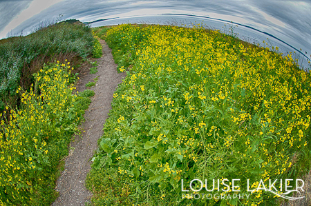 Ebey's Landing, Hiking, Whidbey Island, Washington, The Puget Sound, Wildflowers, Yellow, Fisheye Lens