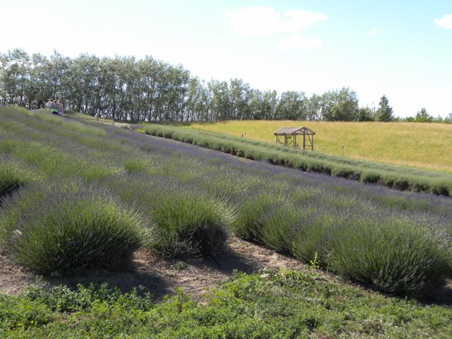 Beyond Wine: The Lavender, Goats, and Art of the Walla Walla Valley