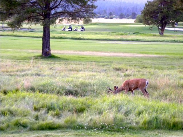 Deer at Sunriver