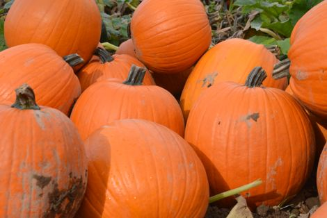 Picking the Perfect Pumpkins at Remlinger Farms