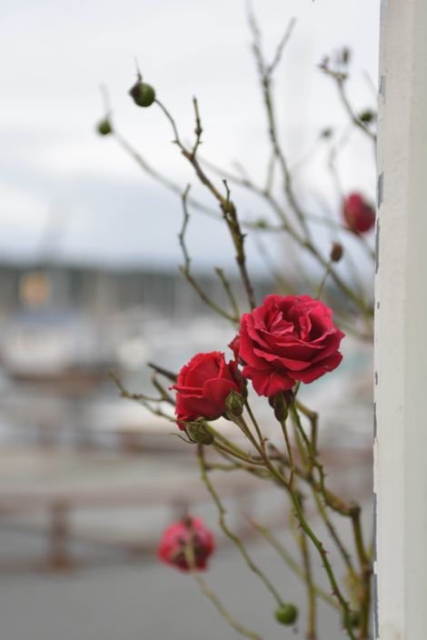 Friday Harbor Roses