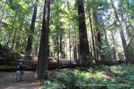 Contemplative among the redwoods