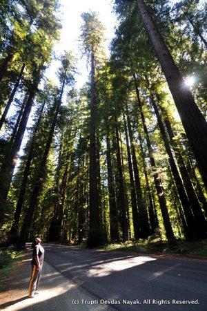 Redwoods at Humboldt Redwoods State Park