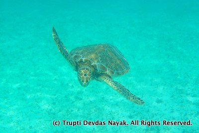 Swimming and snorkeling with sea turtles in Akumal, Mexico