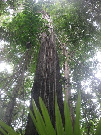 jungle tree in the Amazon