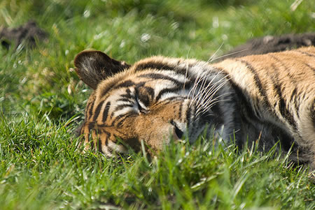 Sleeping tiger - tourism in India