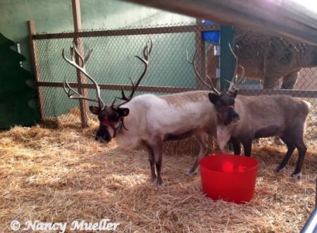 Swansons Reindeer