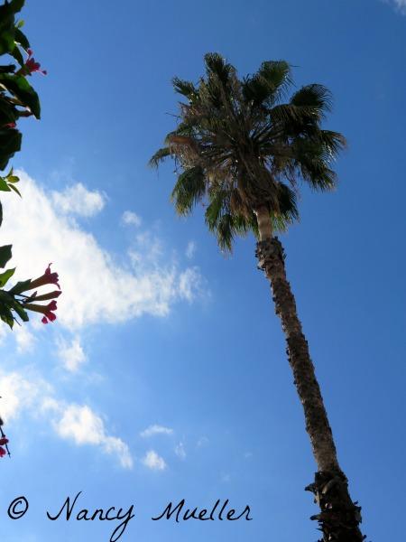Ojai Palm Tree