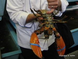 Examining the lobster