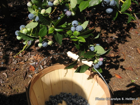 WanderFood Wednesday: Blueberry Picking in BC (with recipes)