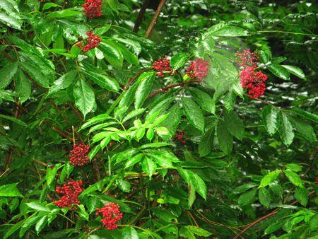 Berries, Swallow Tail Wild Edibles Tour