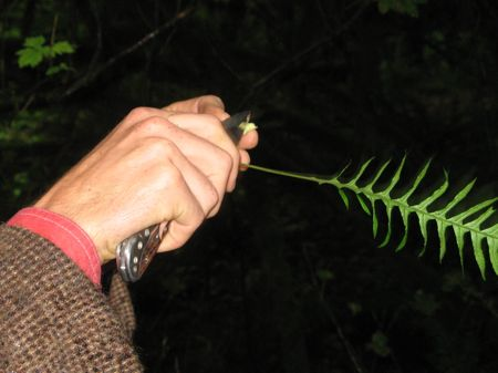 Trimming a licorice fern root, Swallow Tail Wild Edibles Tour