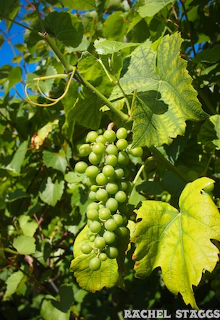 mermaid winery grapes norfolk virginia