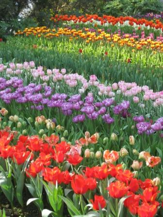 rows-of-tulips