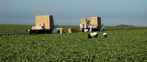 Salinas Valley Harvest