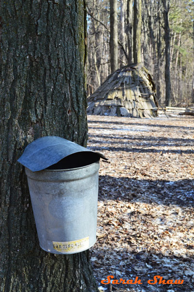 Bucket with a cover for maple sap collection at Fenner Nature Center
