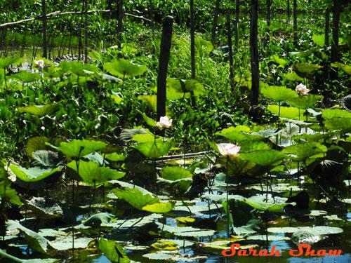 Lotus plants at Khit Sunn Yin, Inle Lake, Myanmar