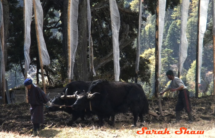 Yaks plow a field in Laya