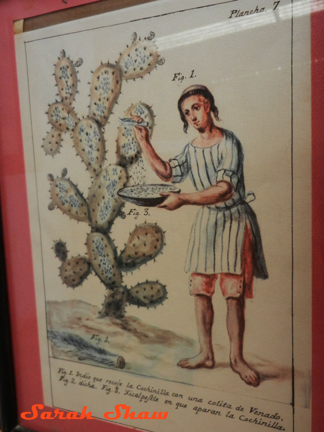 Antique drawing of collecting cochineal in Mexico