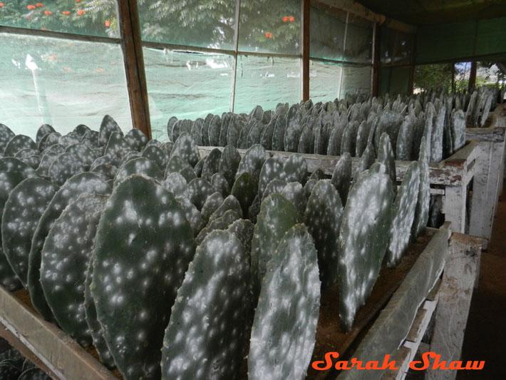 Cochineal Greenhouse in Oaxaca, Mexico