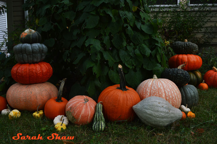 Heirloom pumpkin patch
