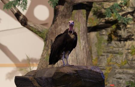 Aviary-Vulture