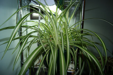 5 things you didn 39 t know about spider plants. Black Bedroom Furniture Sets. Home Design Ideas