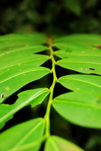 sarawak leaf