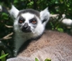 Lemur Count