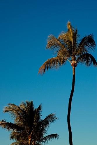 palm tree duo