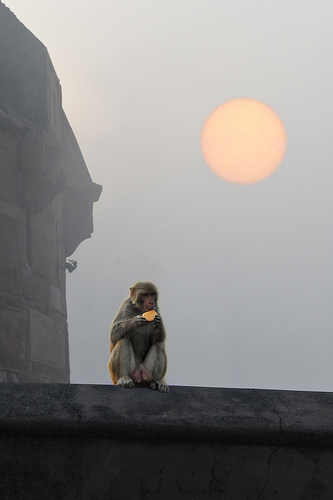 monkey at red fort