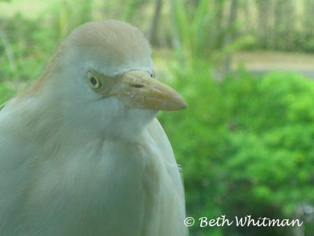 Kauai Egret