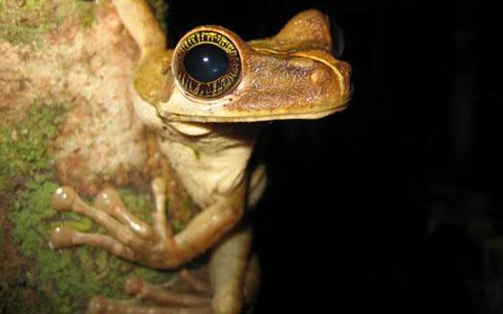 Amazon-Tree-Frog