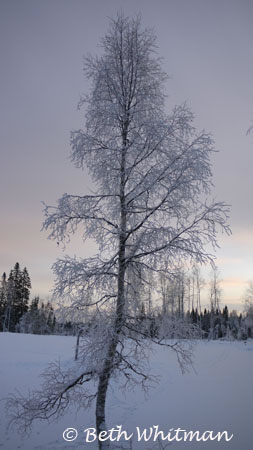 Snow covered tree near Hamar, Norway