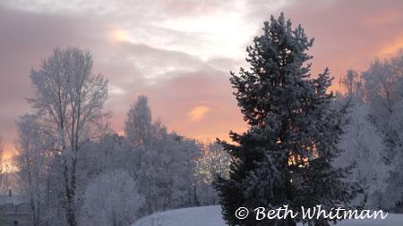 Norway Trees in Winter